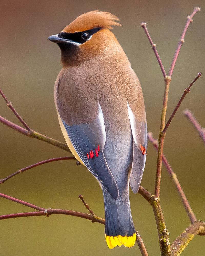 Cedar Waxwing - Not my Photo