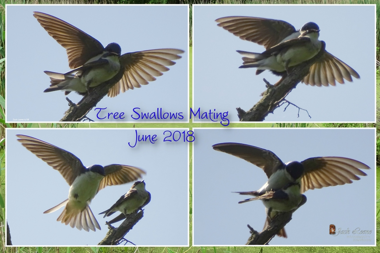 2018 0609 Trree Swallows Matinglr.jpg